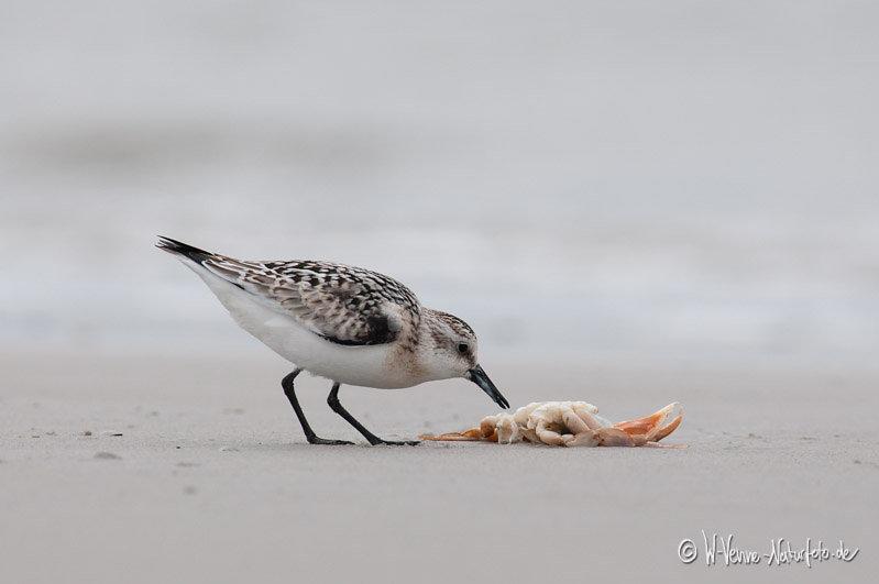 Sanderling mit Strandkrabbe